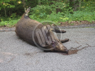 07-09-2018_Hogs Found on Livingston Boat Dock Road_OCN_LNJ