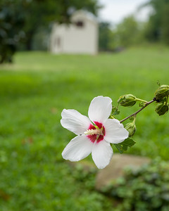 Confederate Rose at Sunken Road