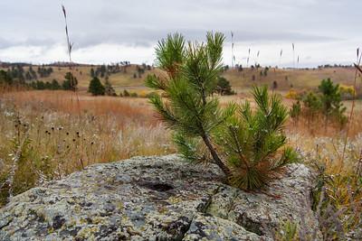 Stubborn Pine