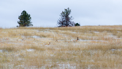 Pronghorn Antelope at Custer State Park