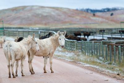 Burros at Custer State Park
