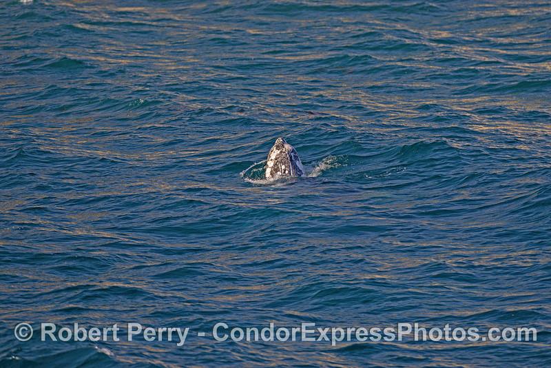 Juvenile gray whale spy-hop...image 2