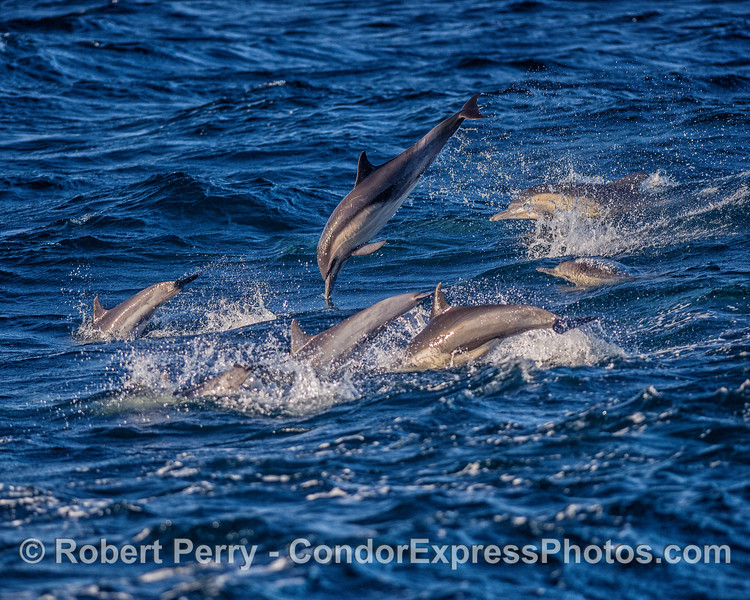 A small group of common dolphins from a much larger pod is seen moving through wind-driven choppy waters.  Of course there is always one in every crowd...