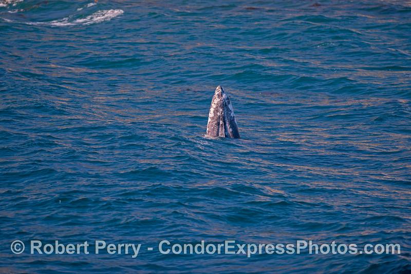 Juvenile gray whale spy-hop...image 1
