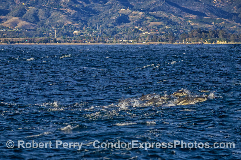 With UCSB and Storke Tower in the back, a small group of common dolphins from a much larger pod bust through the waves and swells.