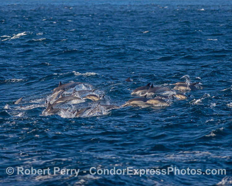 More common dolphins on the move.