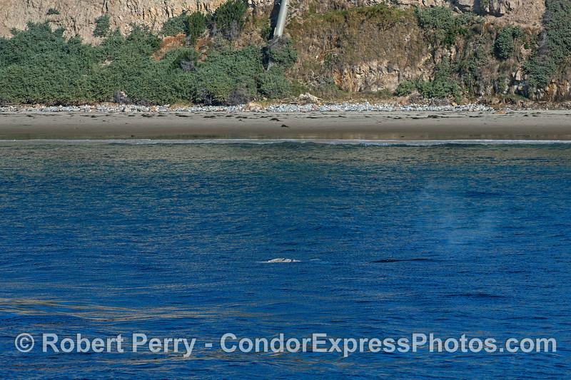 A northbound juvenile gray whale travels close to shore - Hendry's Beach, Santa Barbara.