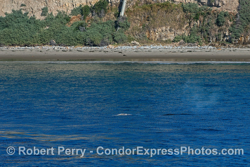 A northbound juvenile gray whale travels close to shore - Hendry's Beach, Santa Barbara.
