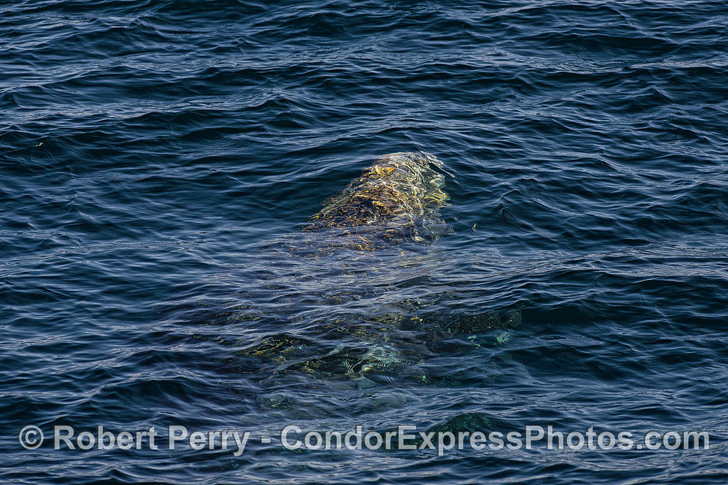 Image 1 - Gray whale breathing sequence - whale is approaching the surface from below.