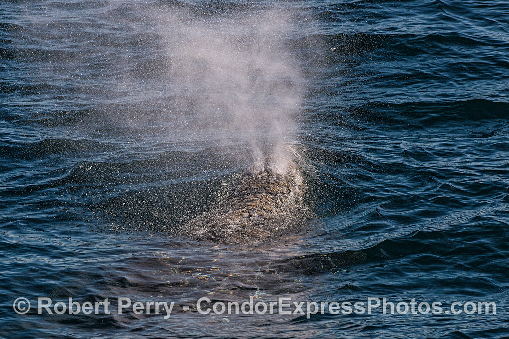 Image 3 - Gray whale breathing sequence - full force of the spout.
