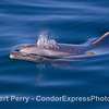 Glassy seas, side view of spouting bottlenose dolphin