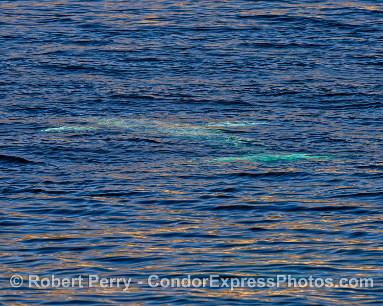A single upside-down gray whale is seen glowing blue just beneath the surface.  (The head is to the left top, pectoral fins are visible, and the tail flukes are bottom right)