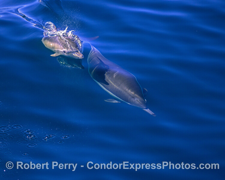 Mother long-beaked common dolphin (underwater) and her calf