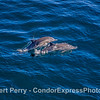 Mother common dolphin and her leaping calf