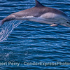 Long-beaked common dolphin-2