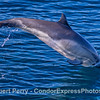 Long-beaked common dolphin-3
