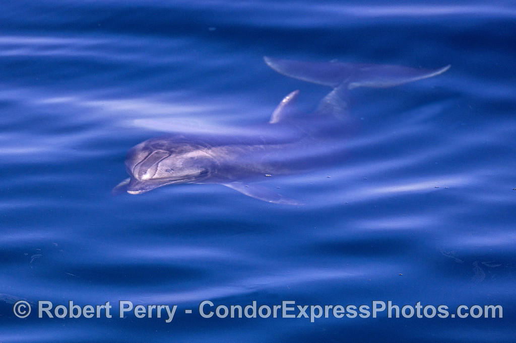 Underwater bottlenose - friendly and curious