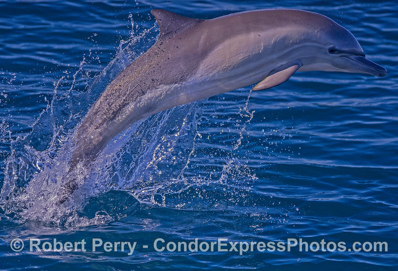 Long-beaked common dolphin-1