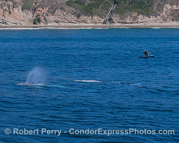 Coastal traffic - two gray whales and a jet ski