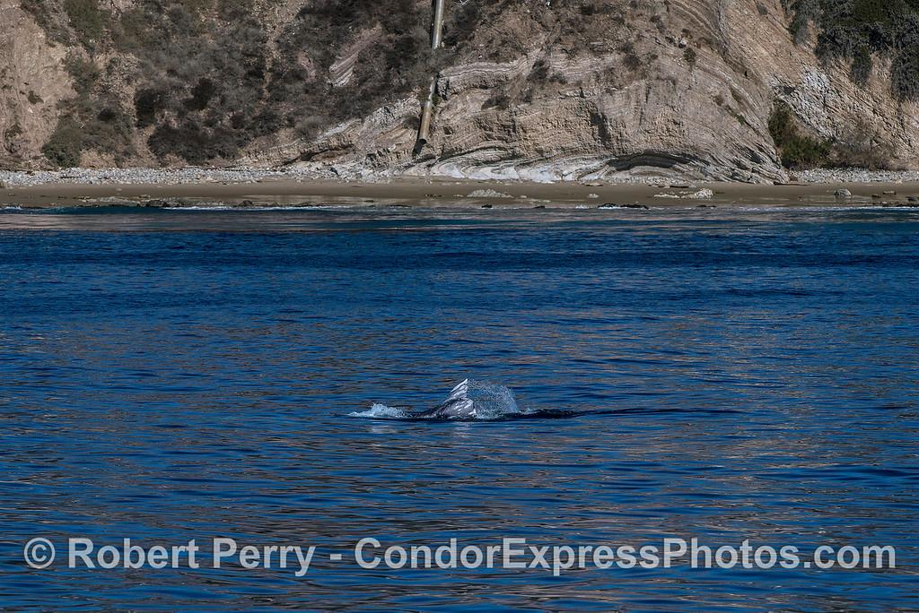 Gray whale tail flukes near the beach
