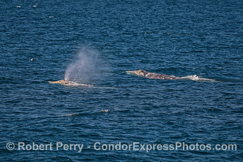 Two gray whales - northbound