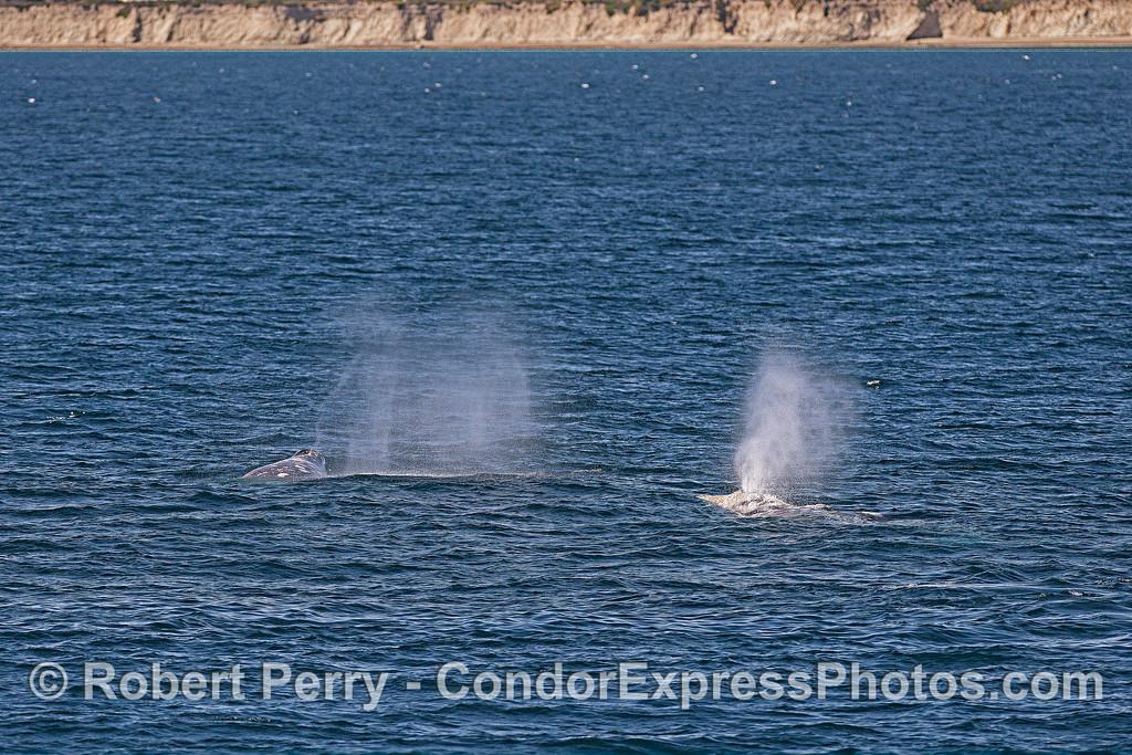 A pair of coastal gray whales - spouting