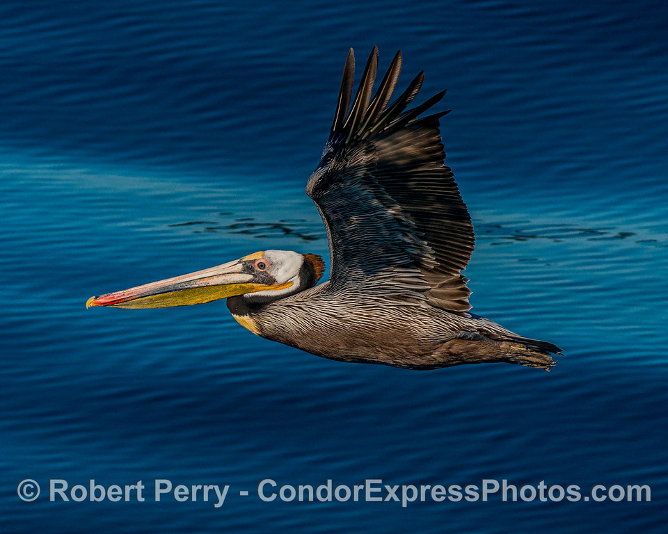 Brown pelican fly-by