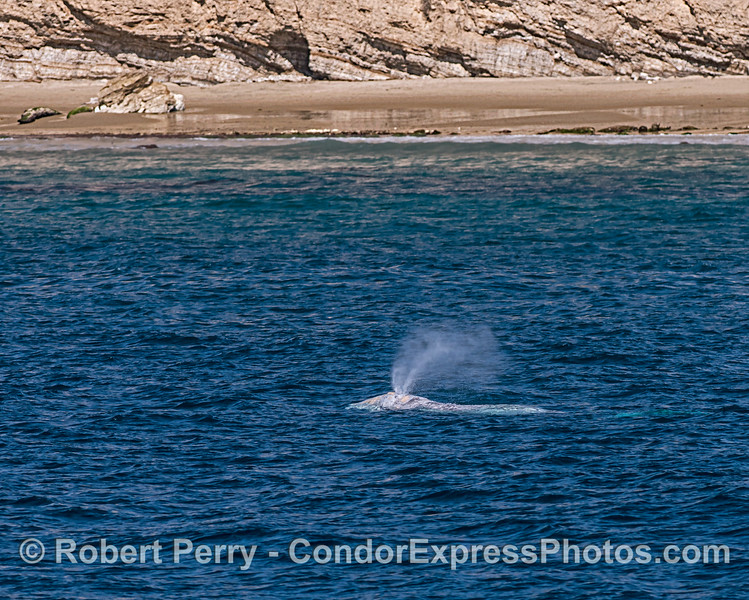 Gray whale near the beach