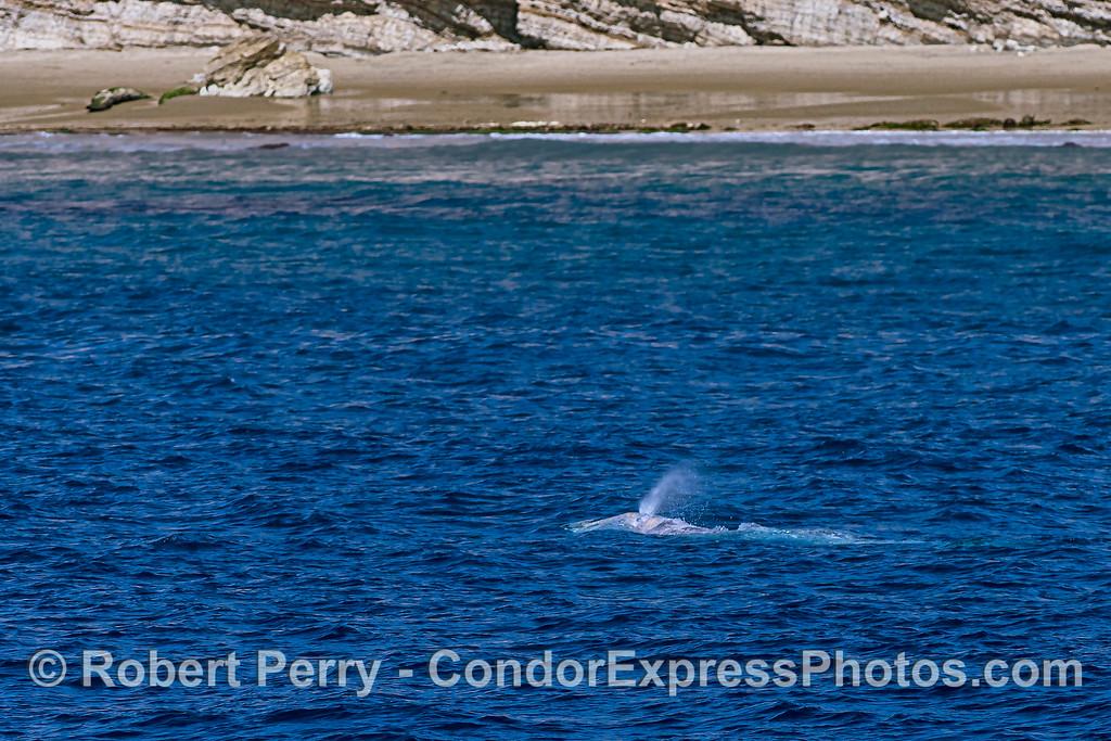 Coastal cruiser - gray whale