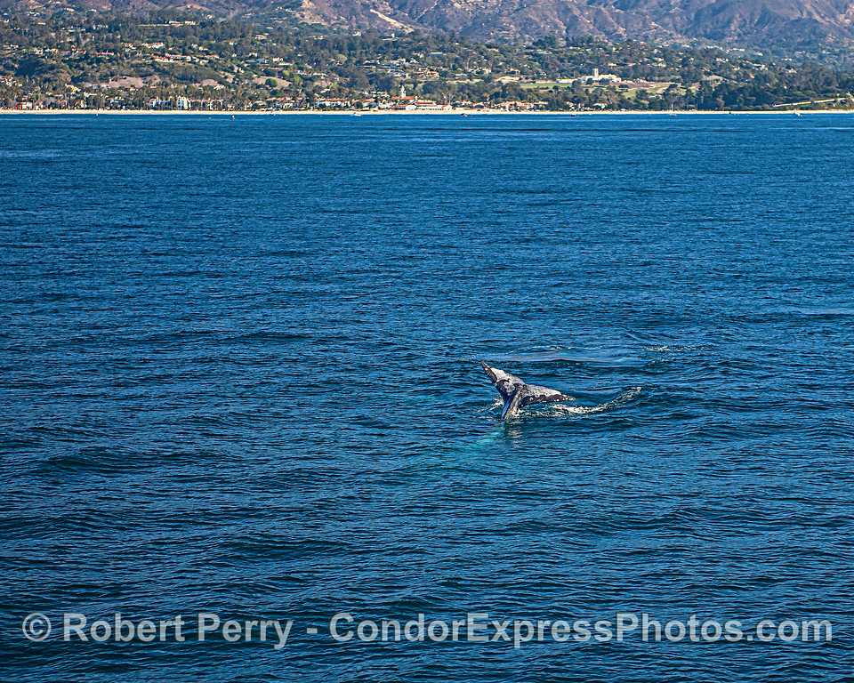 Gray whale tail flukes.