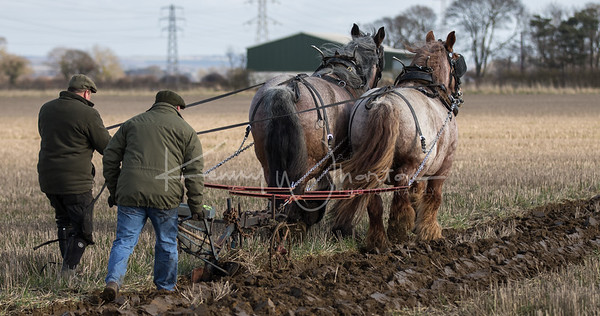 Cindy and Daisy, Belgian Draft horses