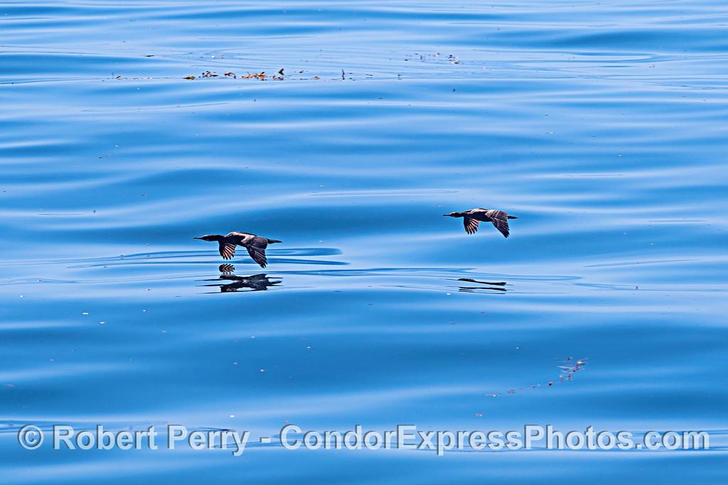 Two cormorants in flight over glassy waters
