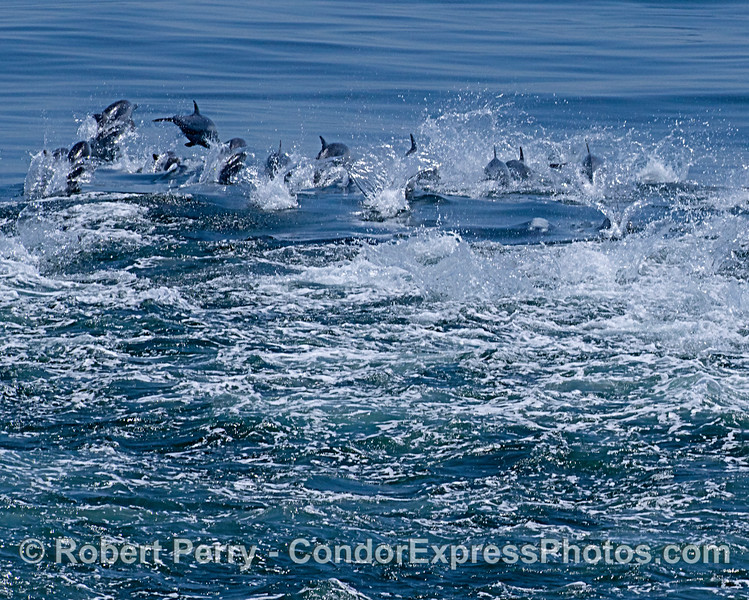 Long-beaked common dolphins - megapod stampede