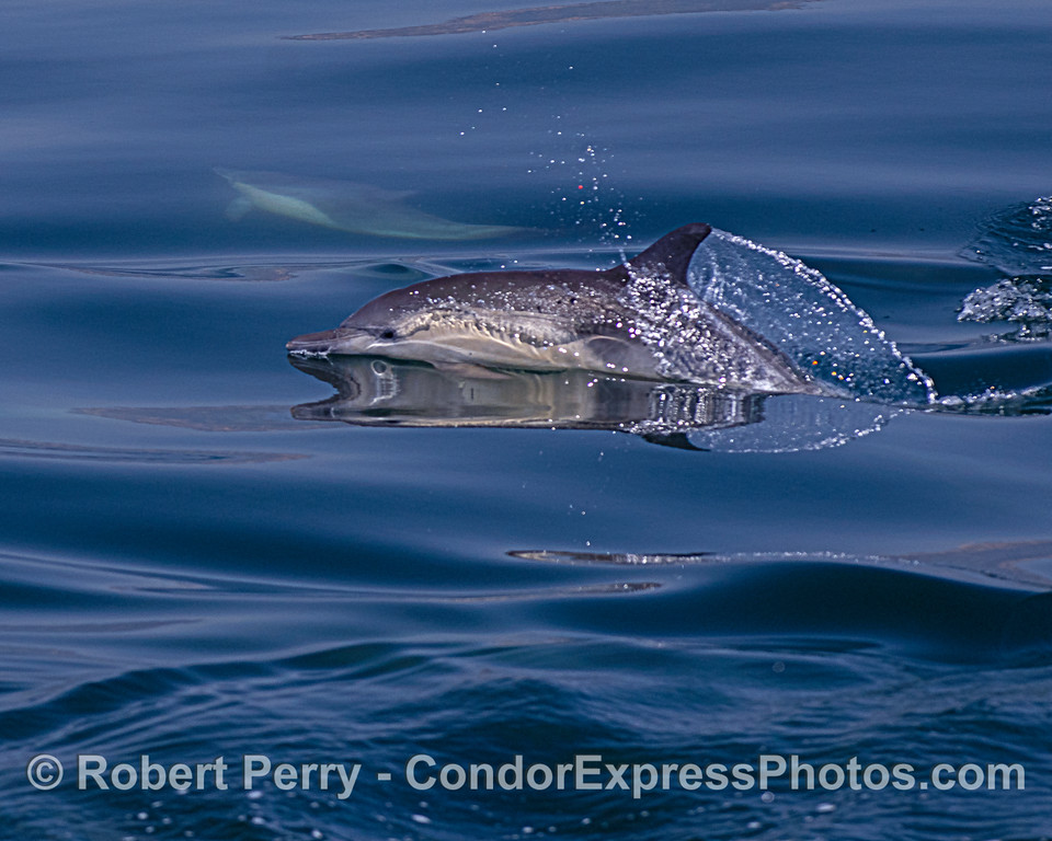 Long-beaked common dolphin with interesting reflections