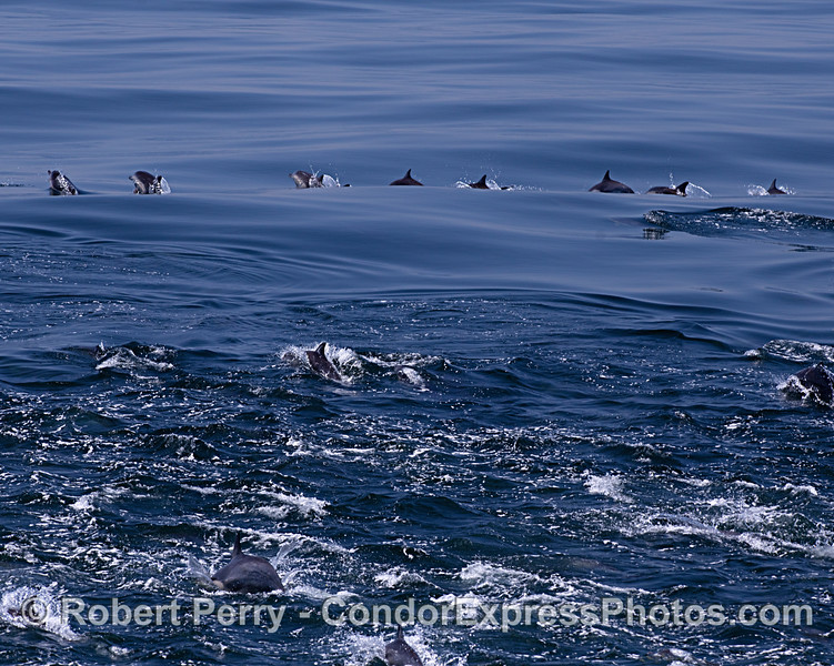 Long-beaked common dolphins - megapod