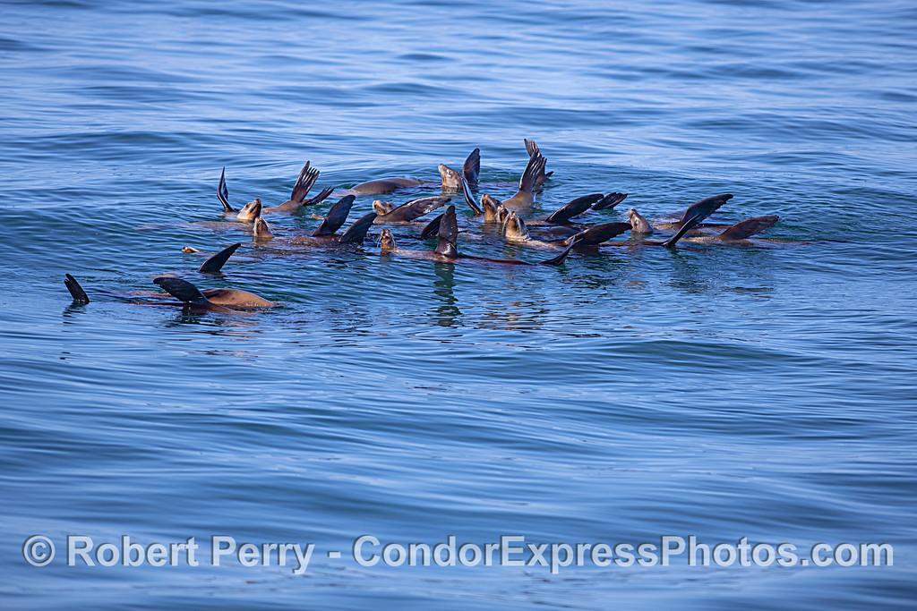 A small raft or mini-mob of California sea lions enjoys the nice warm sun.
