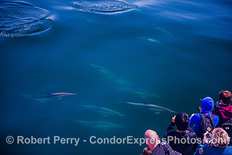 Long-beaked common dolphins meet their fans