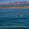Two grays - Isla Vista