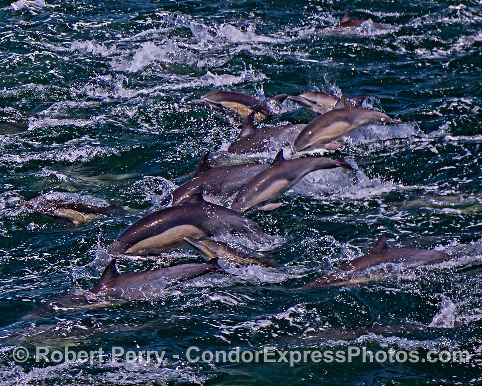 Long-beaked common dolphins - megapod