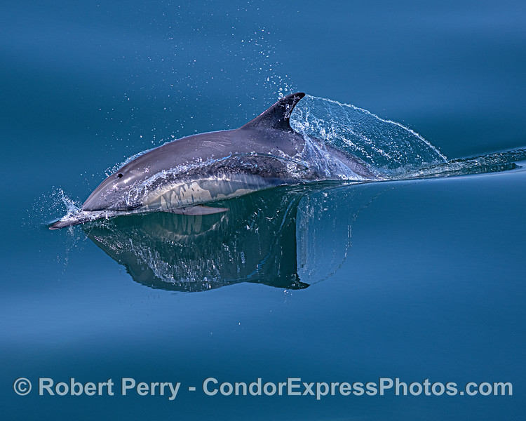 Long-beaked common dolphin - more glassy water reflections