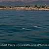 Two grays off Isla Vista