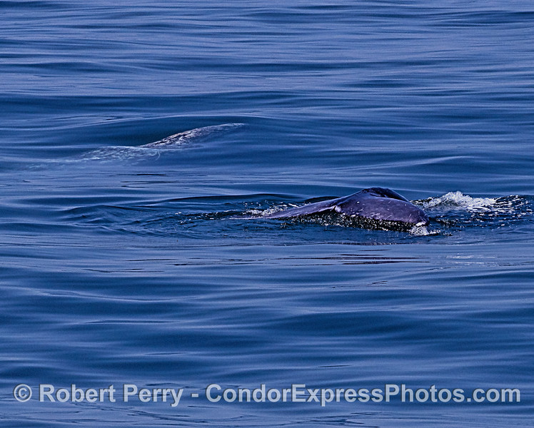 Two gray whales...one still underwater