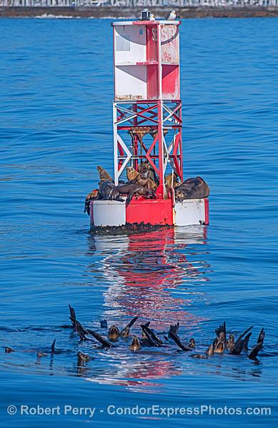 "Santa Barbara Harbor entrance buoy with ""swimming-room only"""