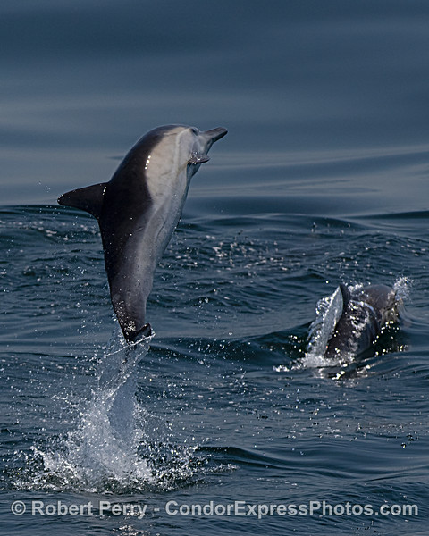 Leaping long-beaked common dolphin