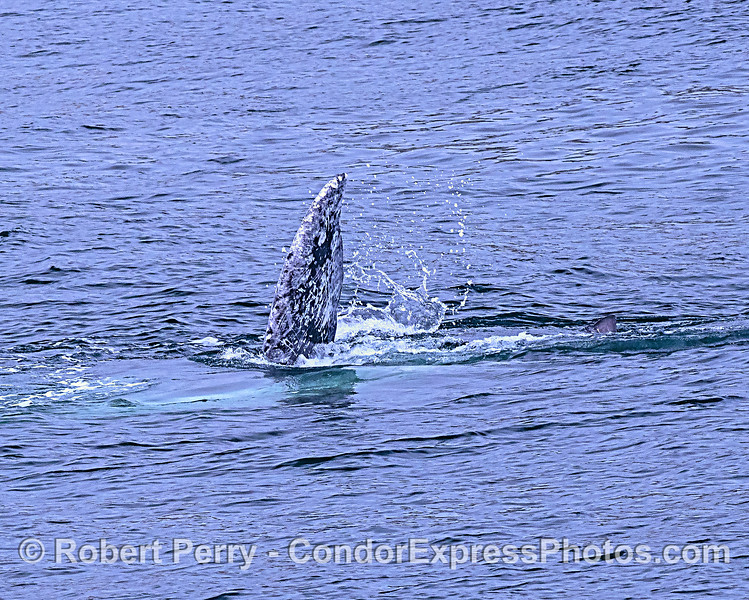 "When gray whale moms and their newborn calves  head to the Alaskan feeding grounds, the calves play around and do other interesting things like solicit nursing.  Here we see half of the mom's tail flukes in the air.  If you look closer, to the right, you'll see ""junior's"" tail fluke tip too."