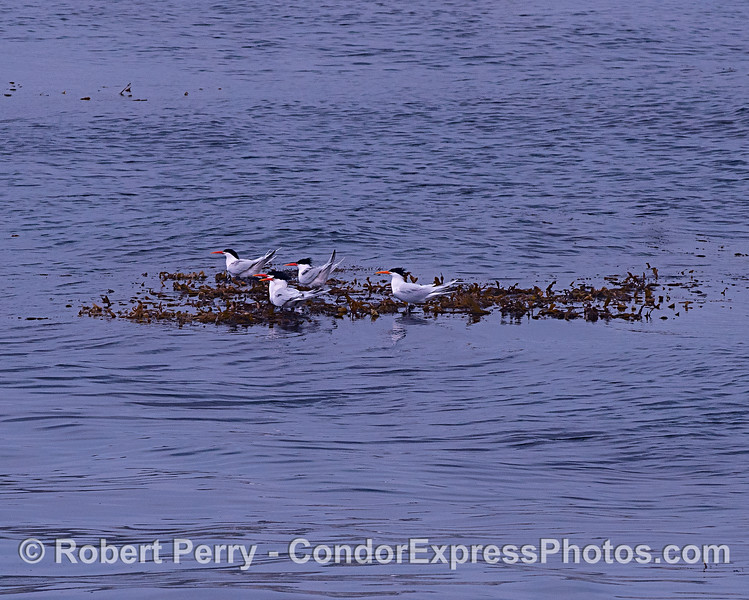 Elegant terns take a rest (and a slow ride) on a paddy of drifting giant kelp debris.