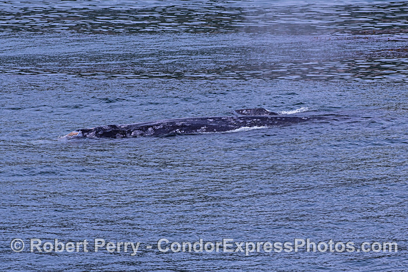 Mother gray whale (in foreground) and her little calf.