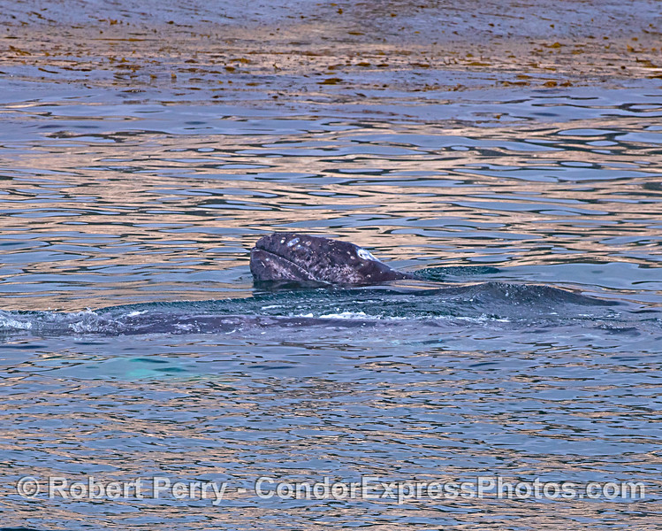 A juvenile gray whale lifts its head above the glassy surface.