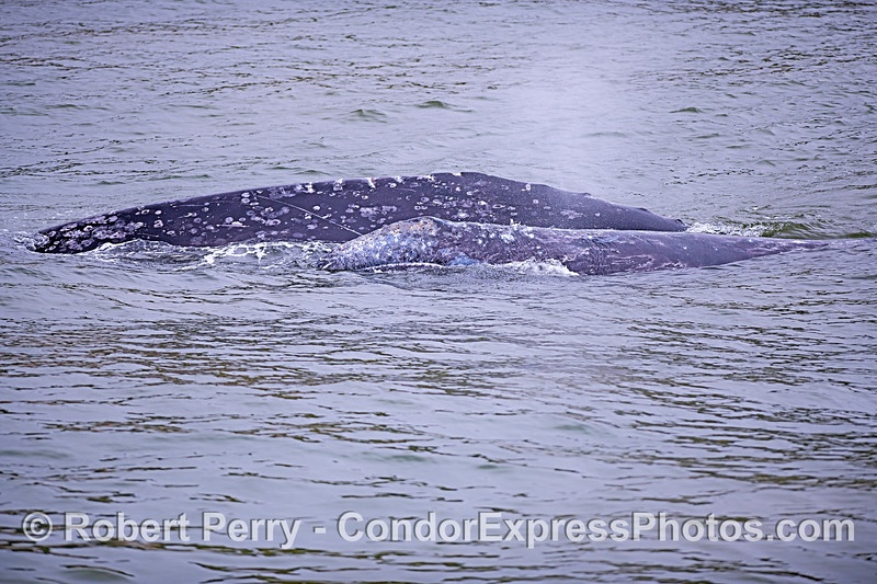 Gray whale calf (foreground) and its mother, with propeller scars.