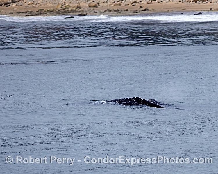 Gray whale cow-calf pair heads northbound along the beach.